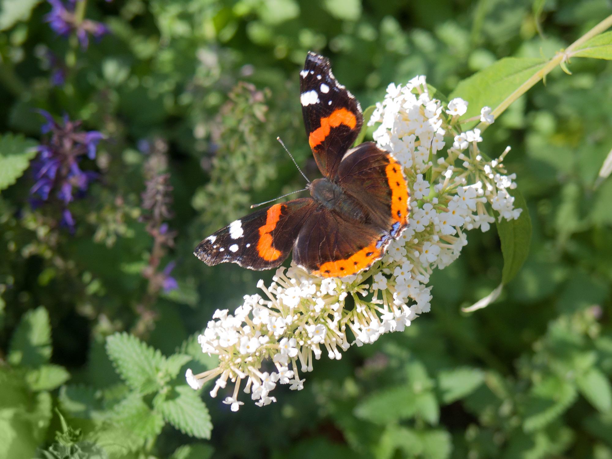 Бабочка-адмирал на цветке