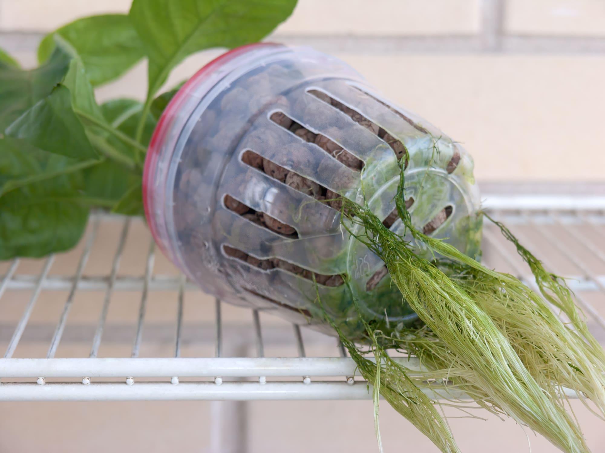 Водоросли на корнях перца в гидропонике