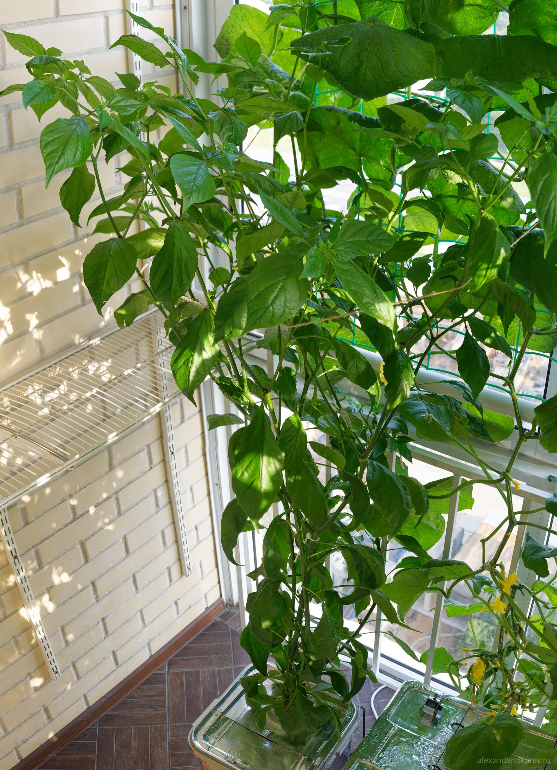 Перец Bhut Jolokia в гидропонике