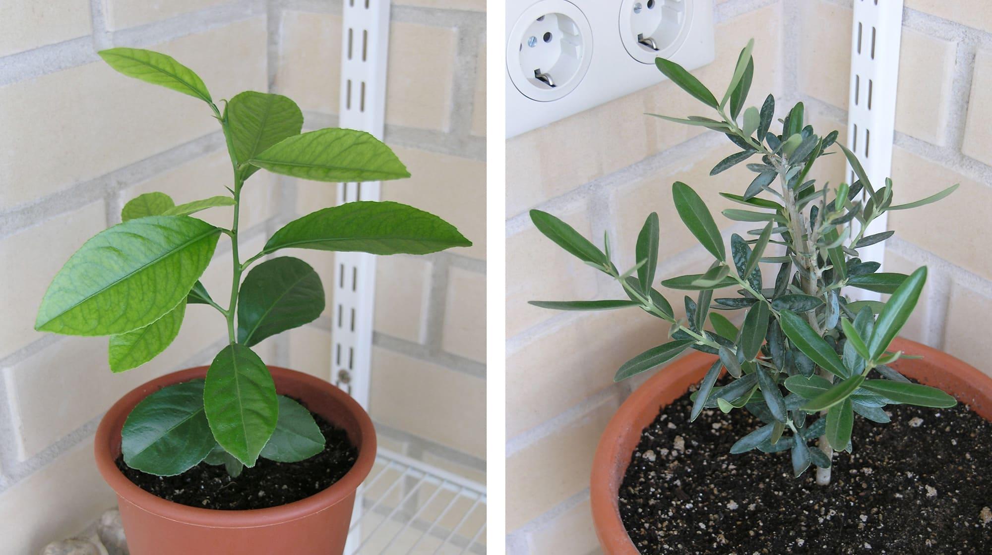 Лимонное дерево в горшке. Оливковое дерево в горшке.
