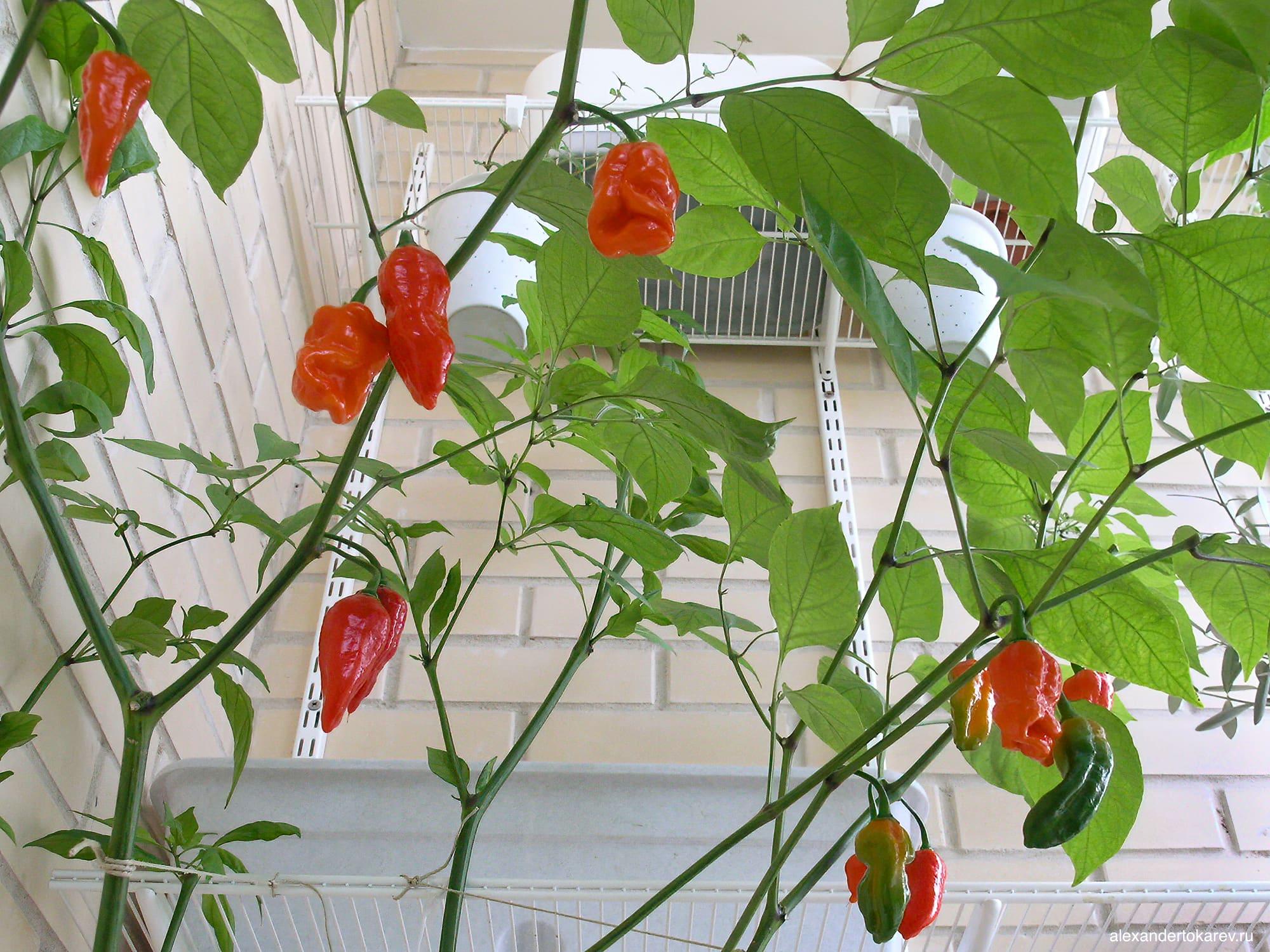 Перец Trinidad Scorpion на балконе