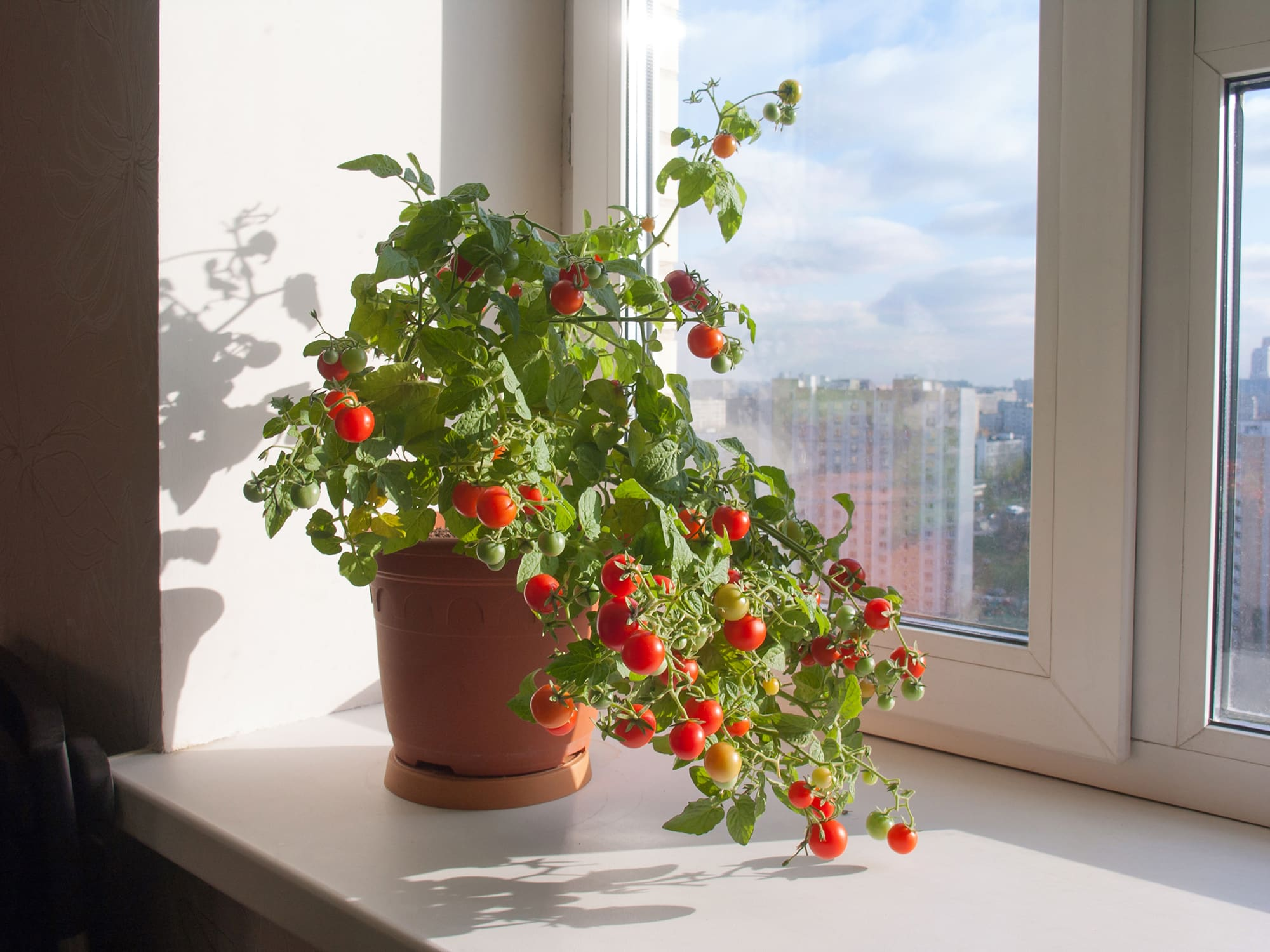 Декоративный помидор на подоконнике