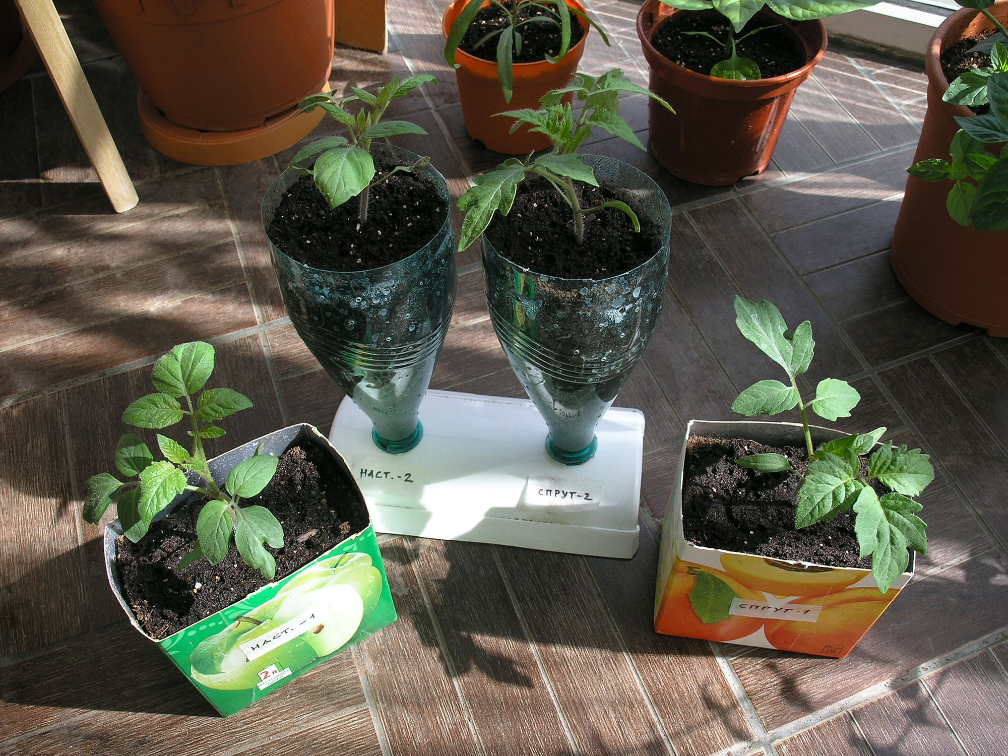 Саженцы помидоров на старте эксперимента