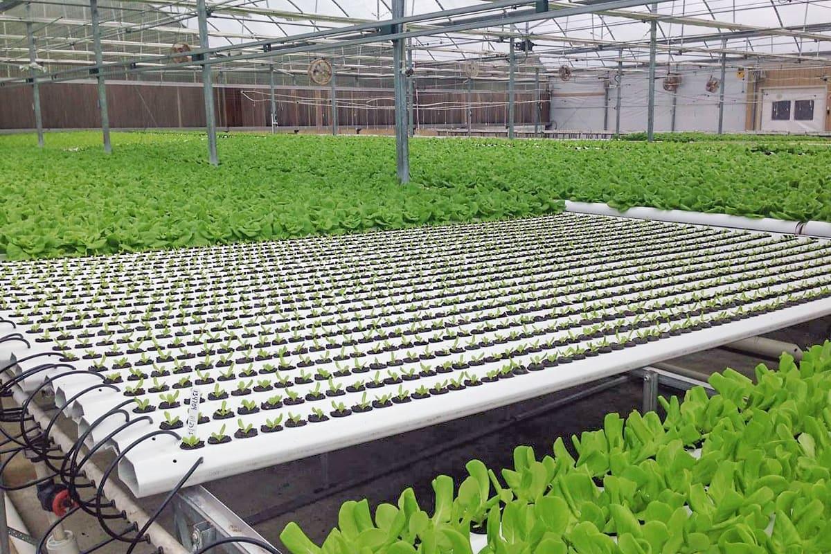 Гидропонный салат в агрокомплексе