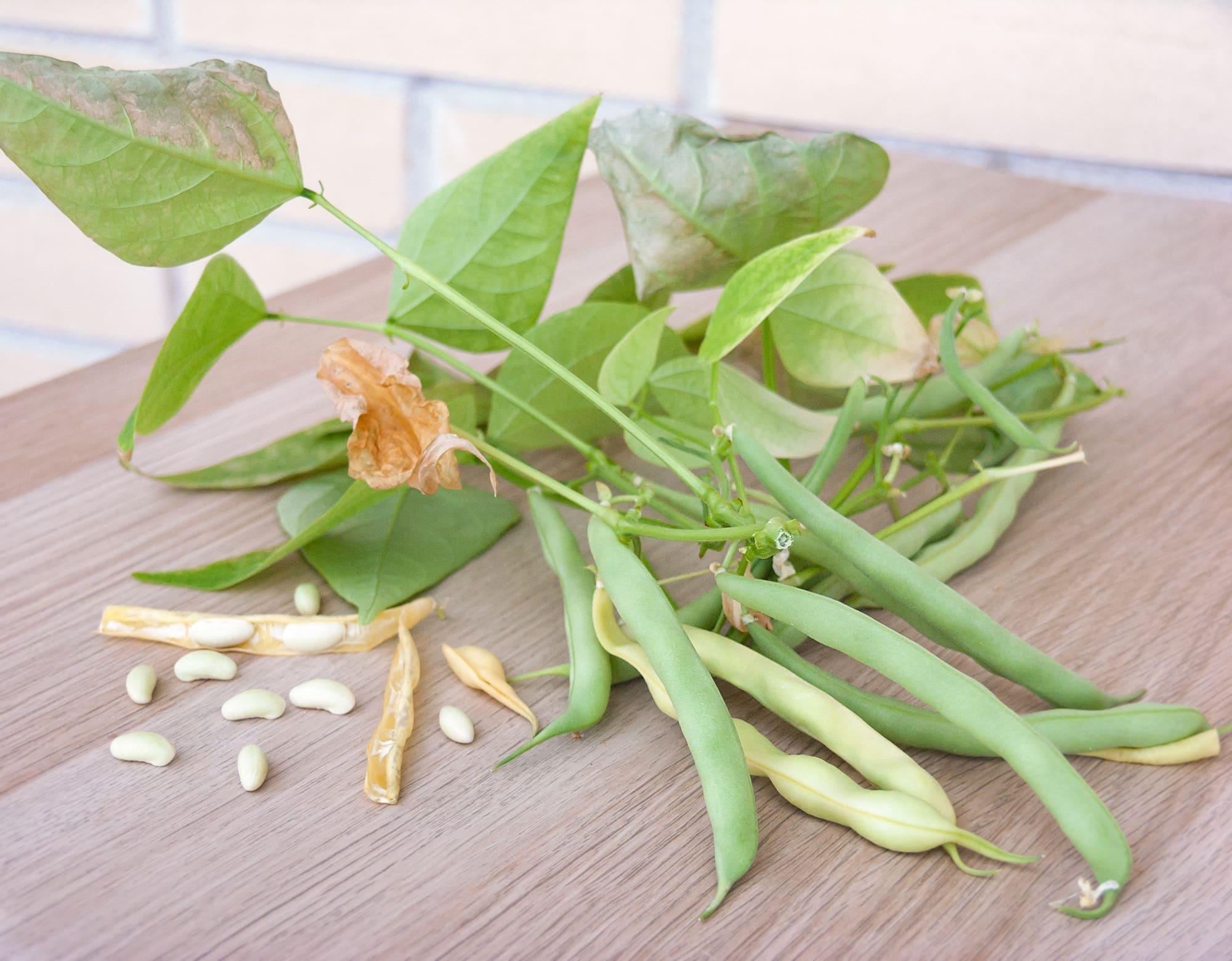Урожай кустовой фасоли гидропоника
