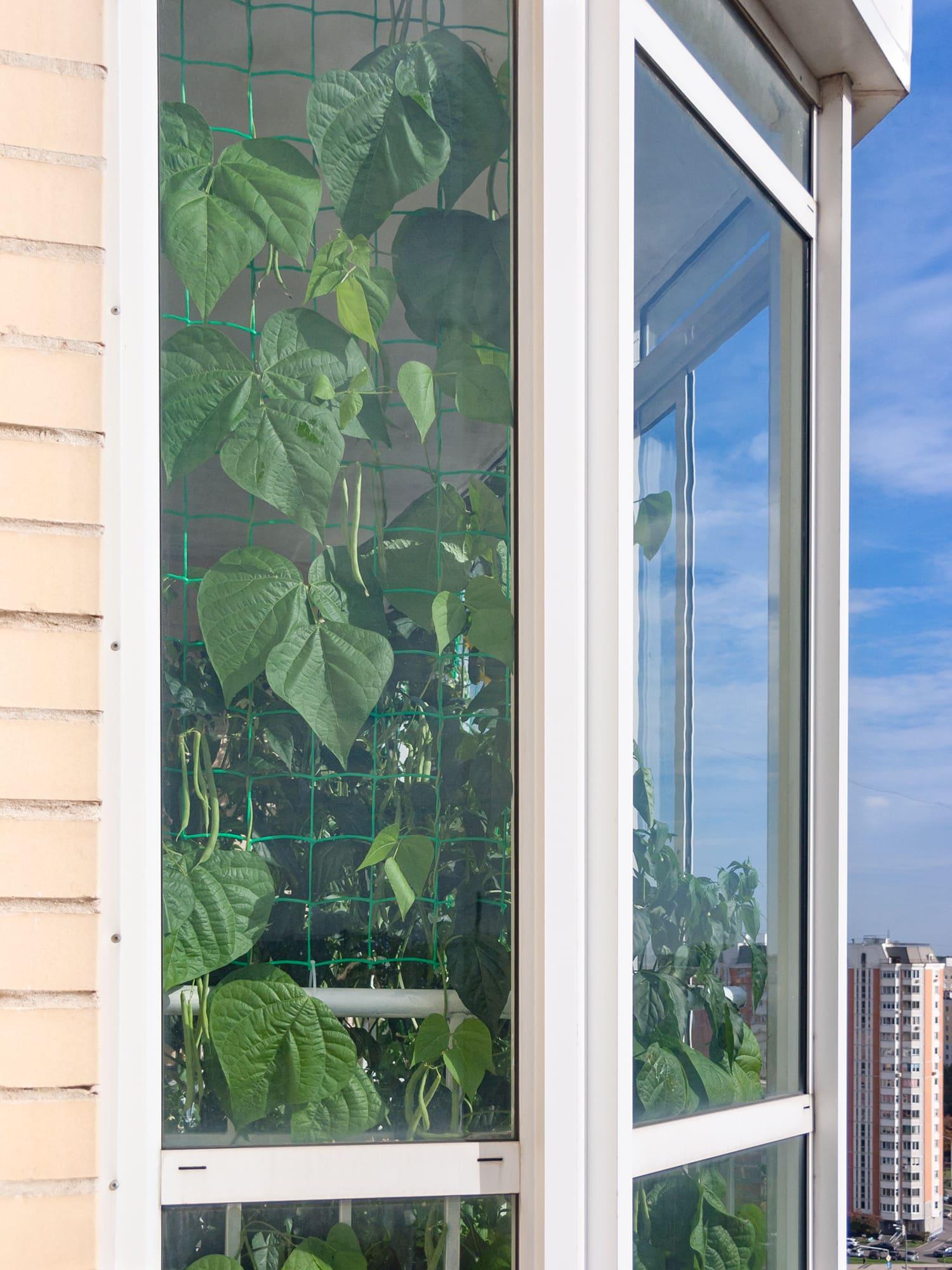 Гидропонная фасоль на балконе