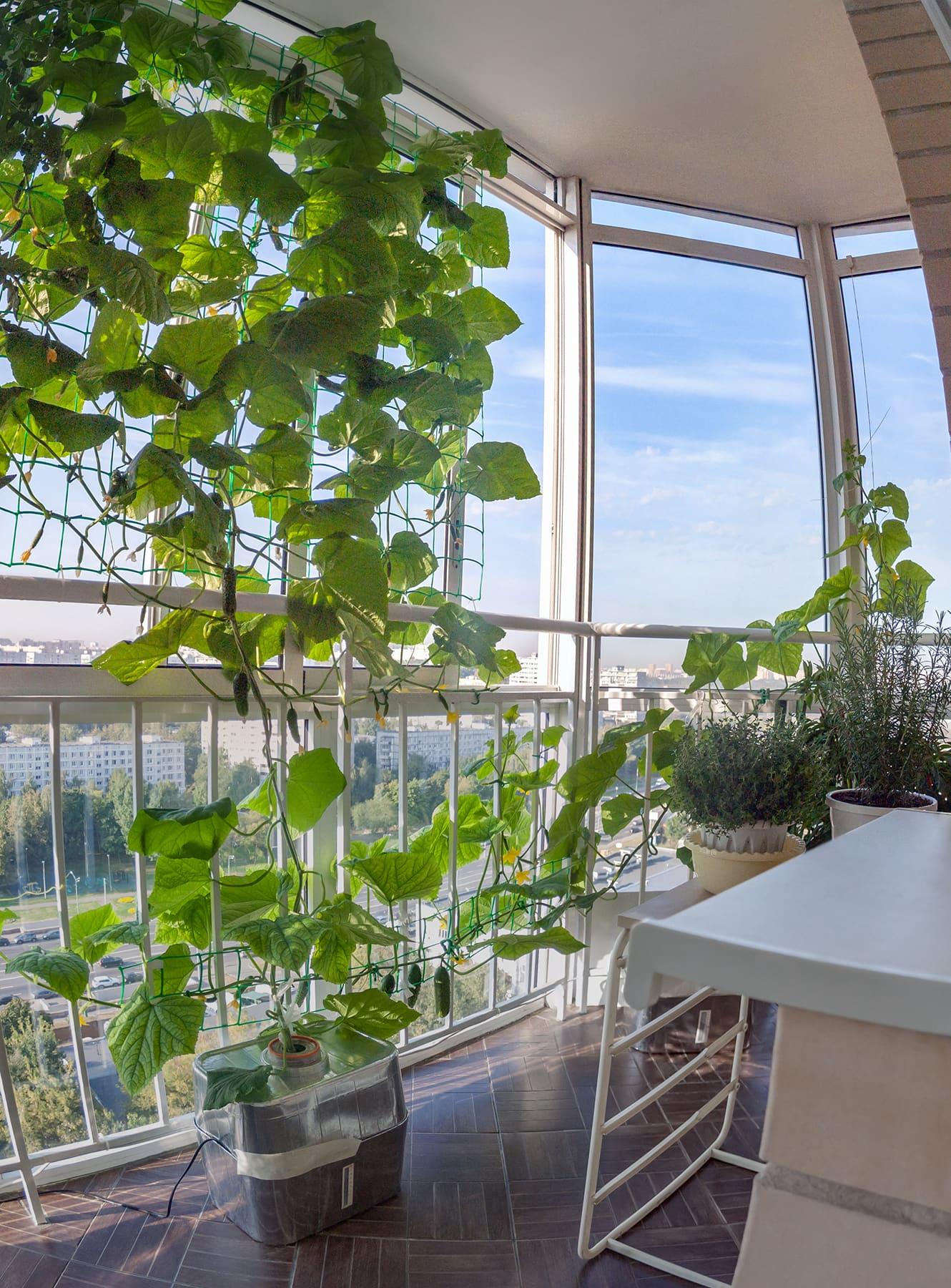 Огурцы в гидропонике на балконе