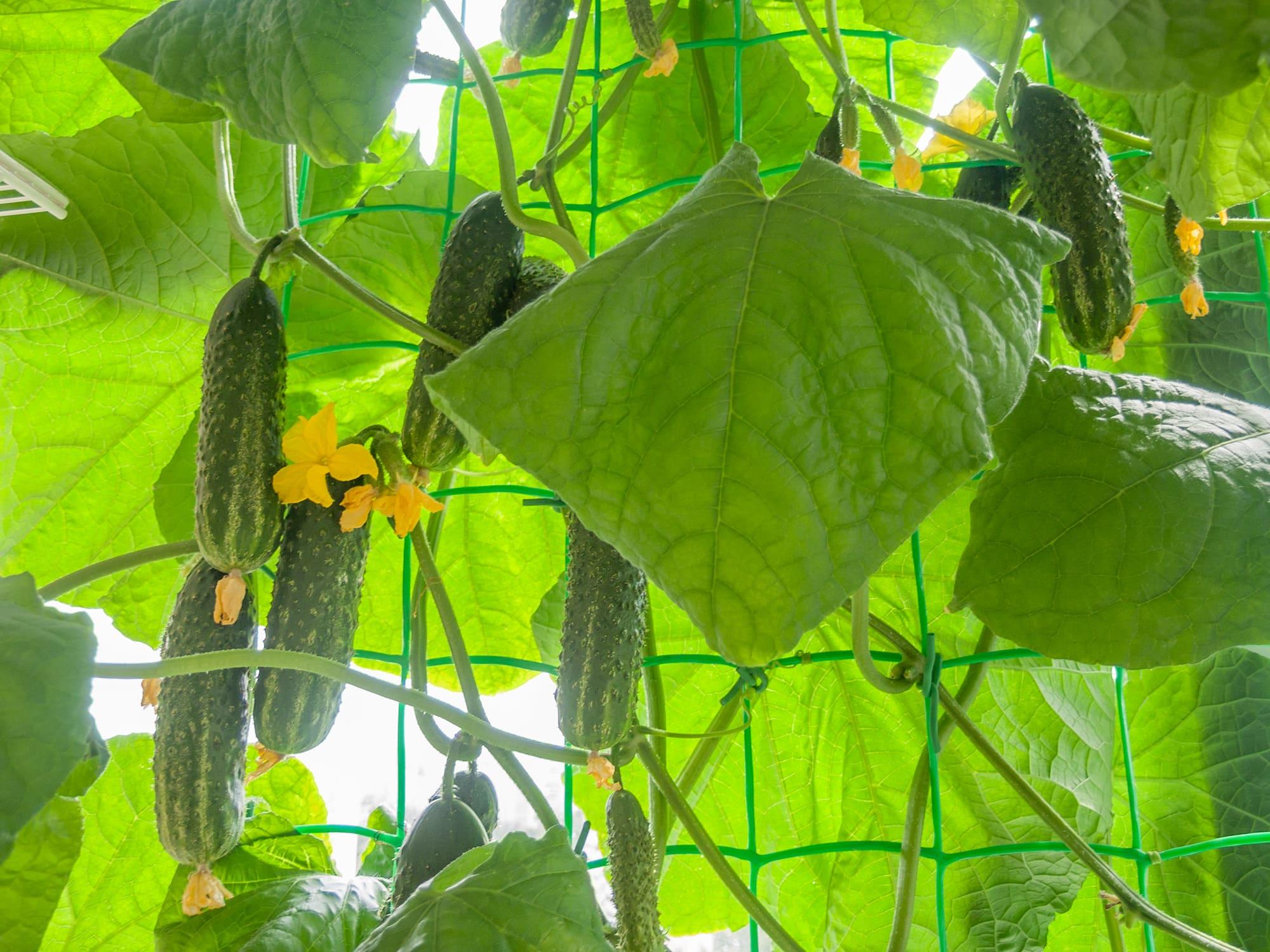 Огурцы на балконе в гидропонике