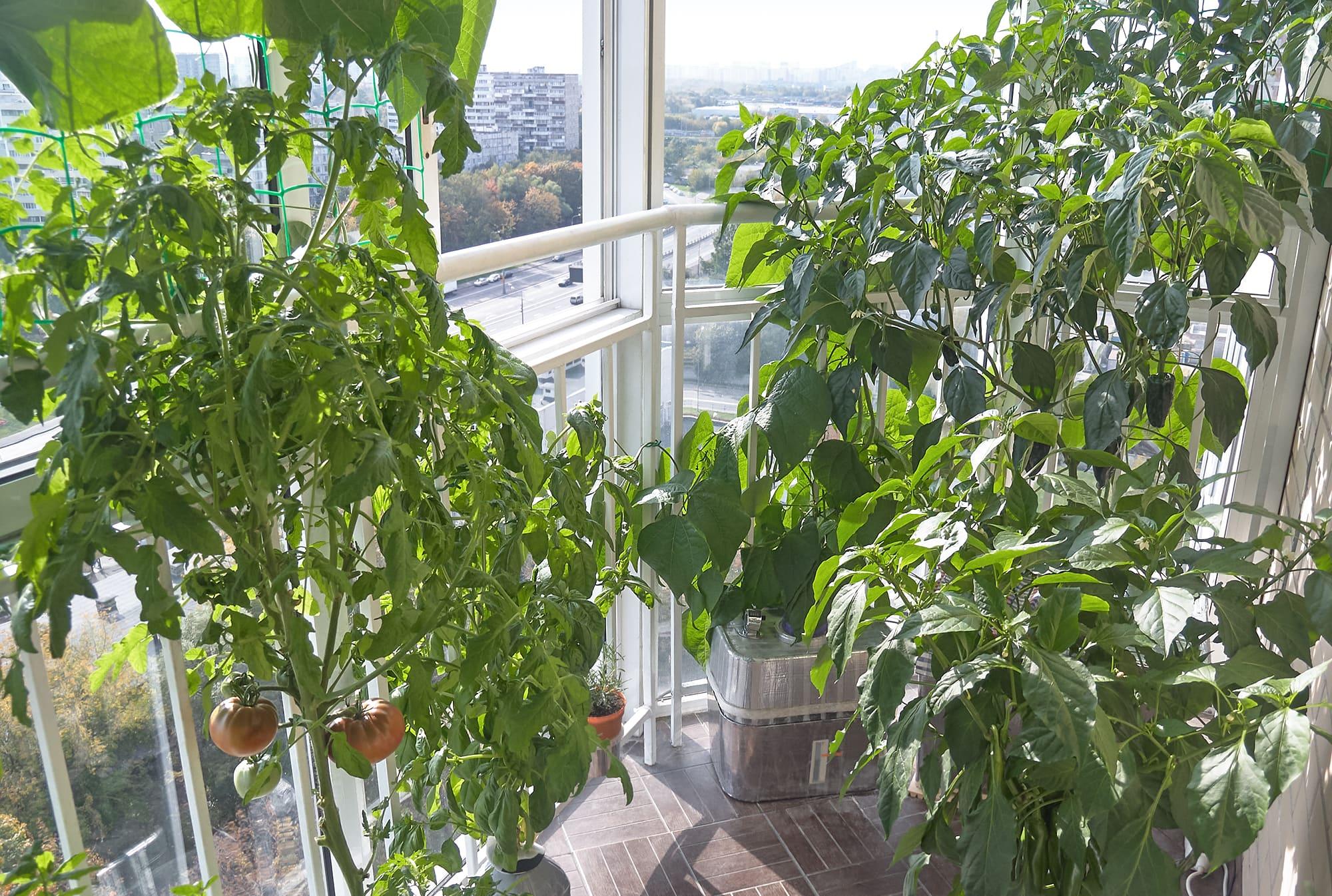 Помидоры на балконе гидропоника