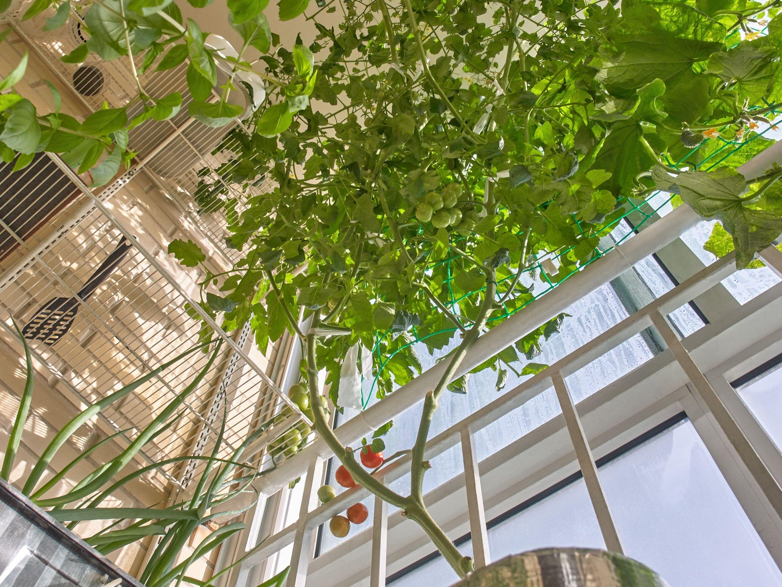 Помидоры Ризентраубе в моей балконно-гидропонной оранжерее (2020)