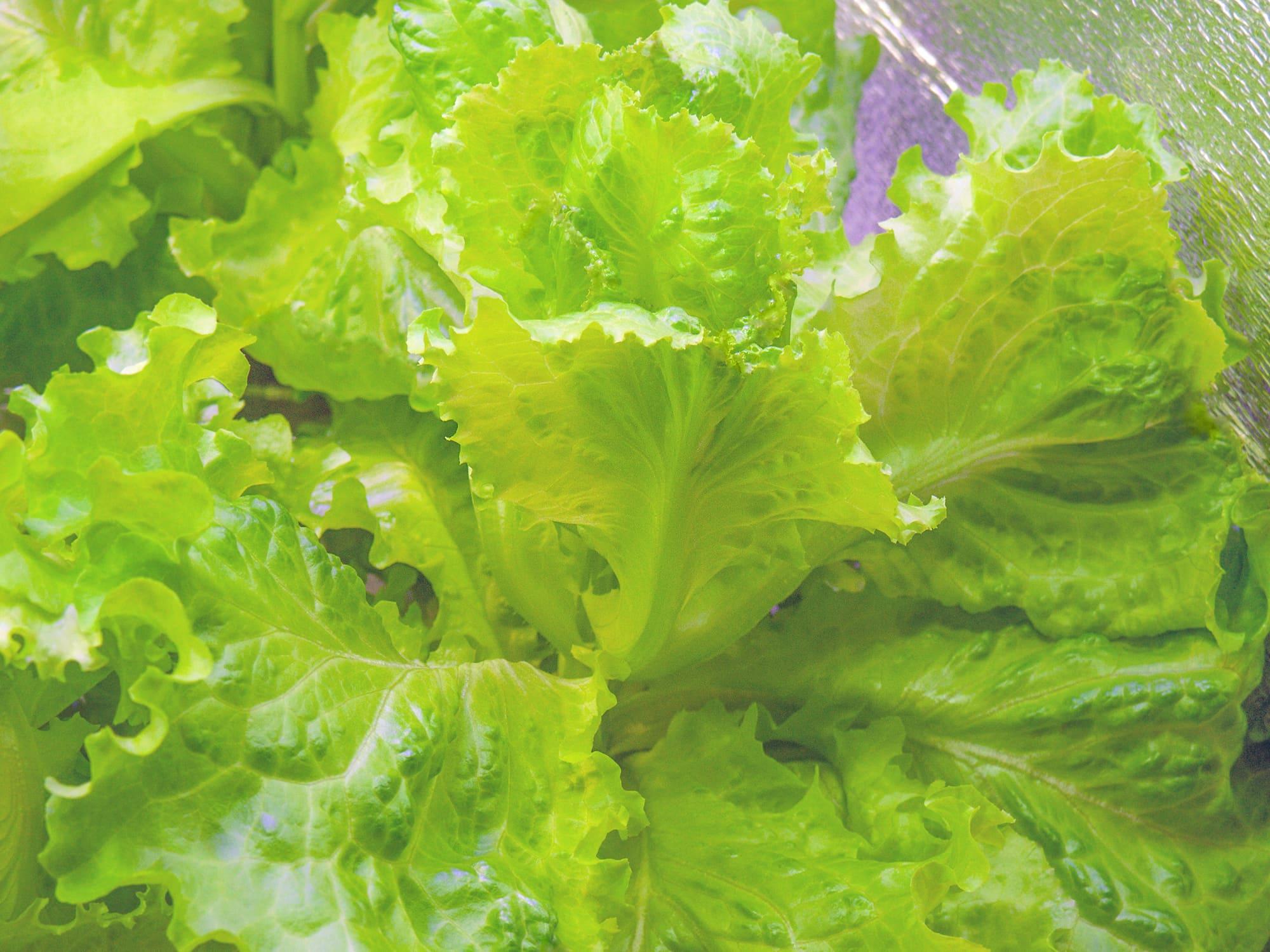 Листовой салат, выращенный в гидропонике по методу Кратки