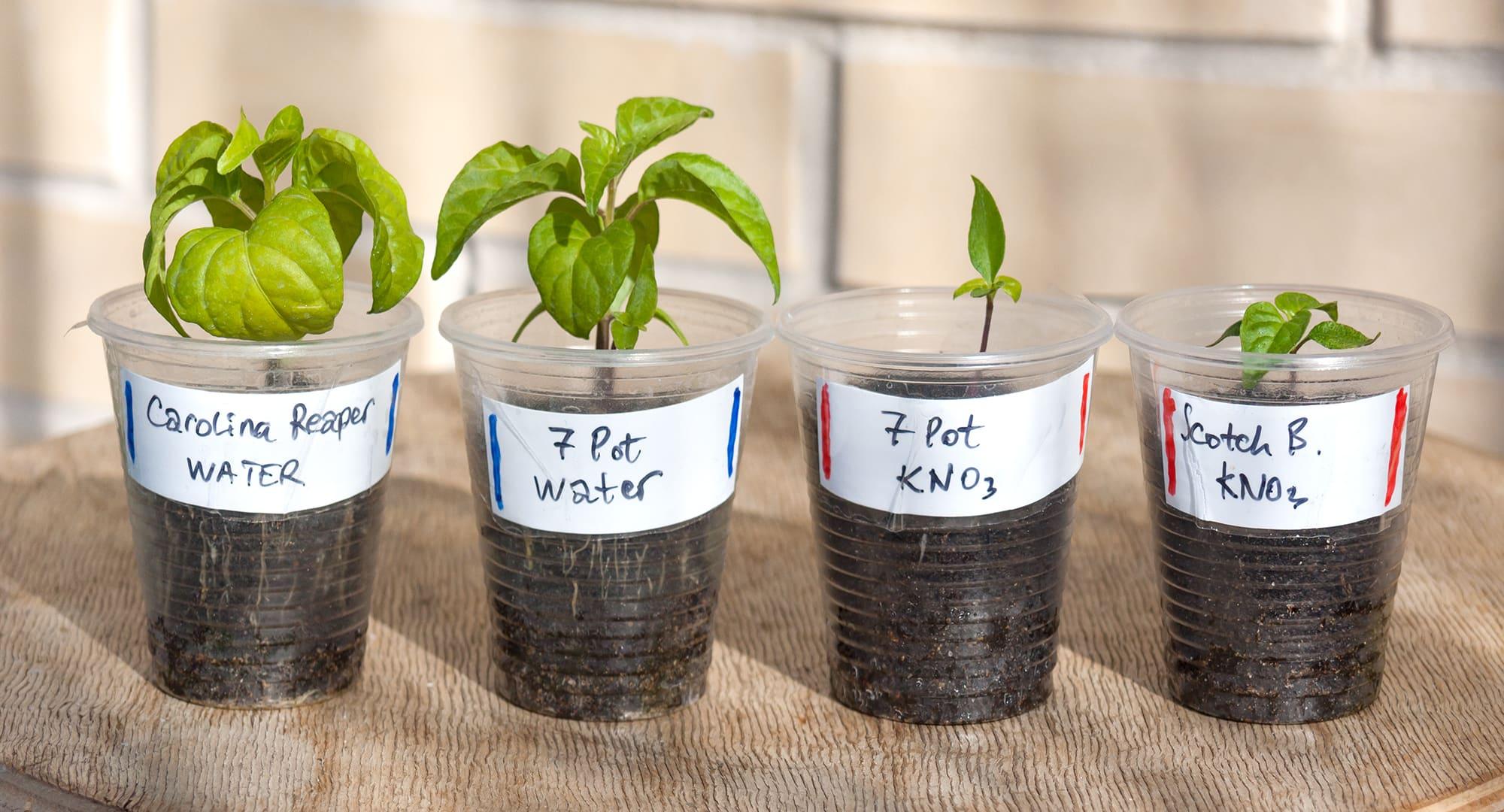 Сверхострые перцы тест семян