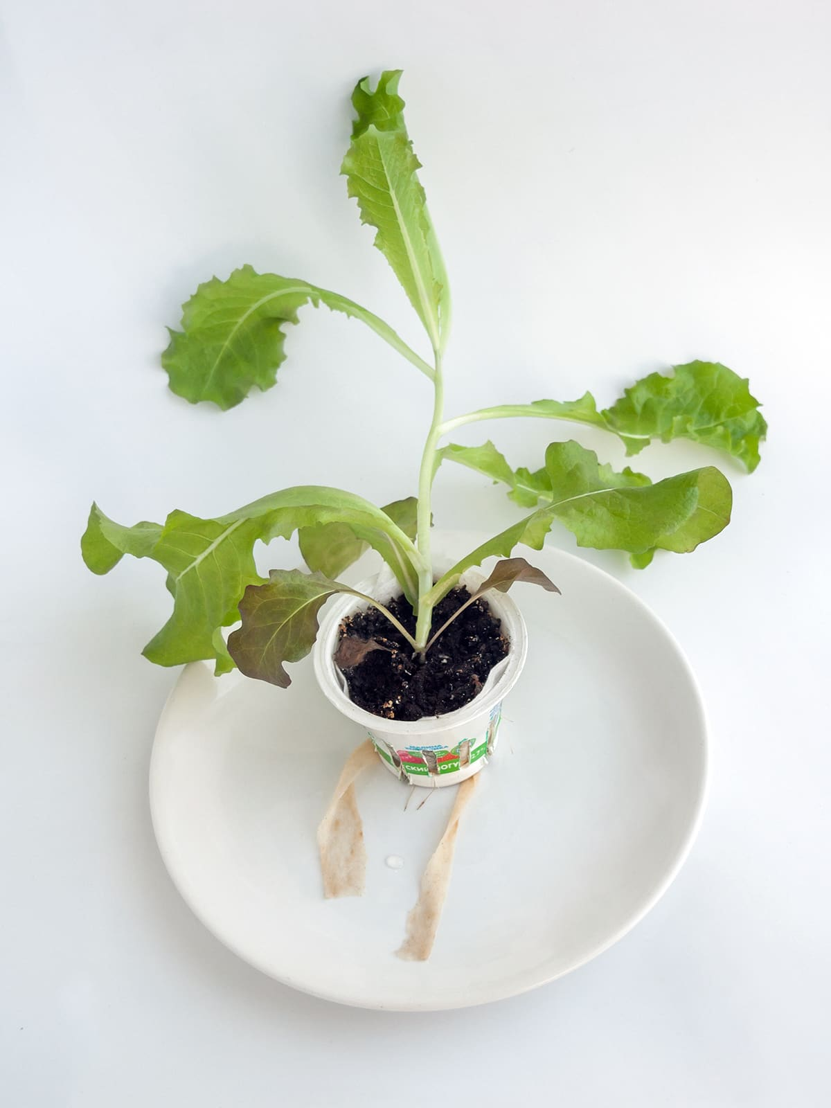 Вытягивание стеблей у салата