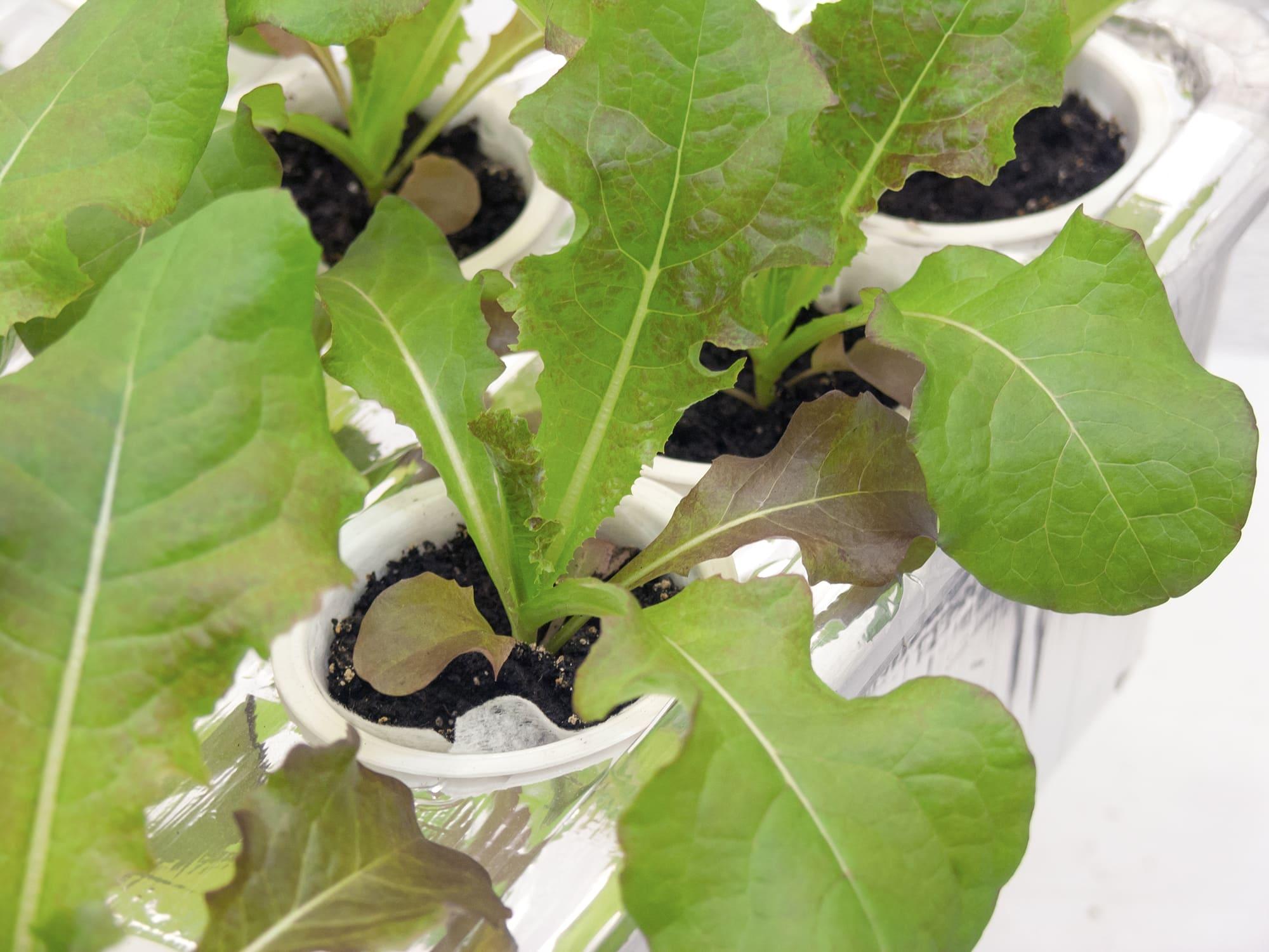 Красный салат в гидропонике