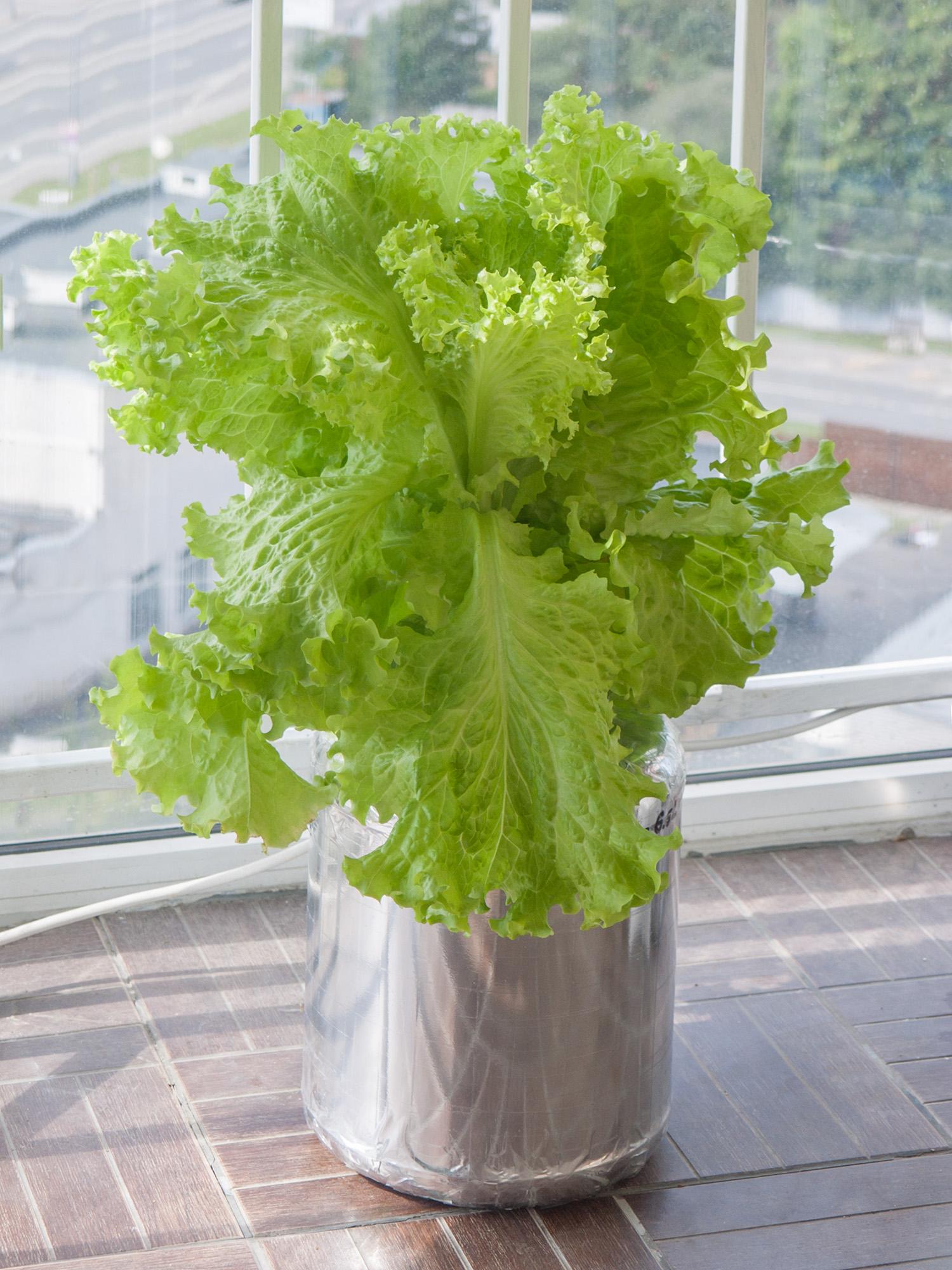 Гидропонный салат на балконе