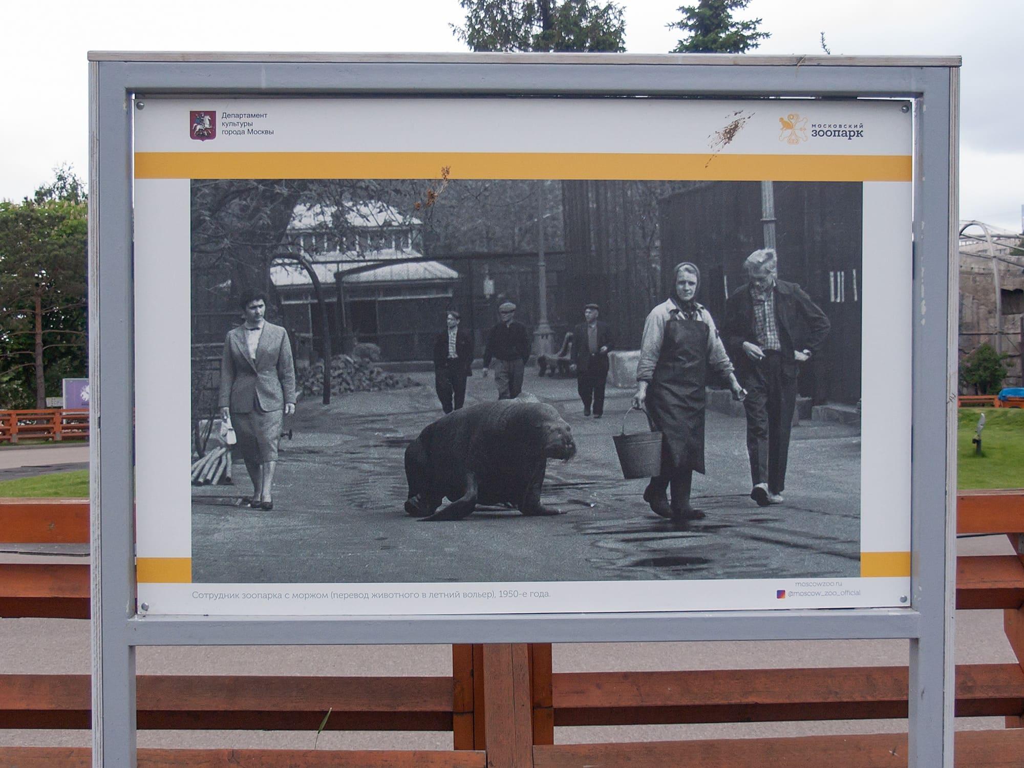 Морж на улице Москвы