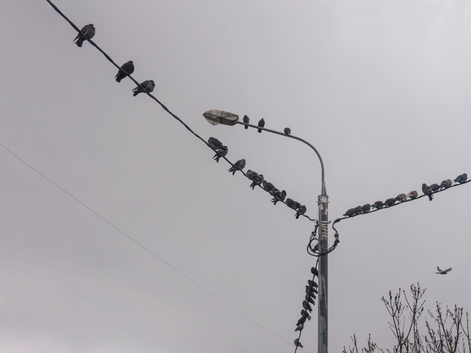 Голуби на проводах