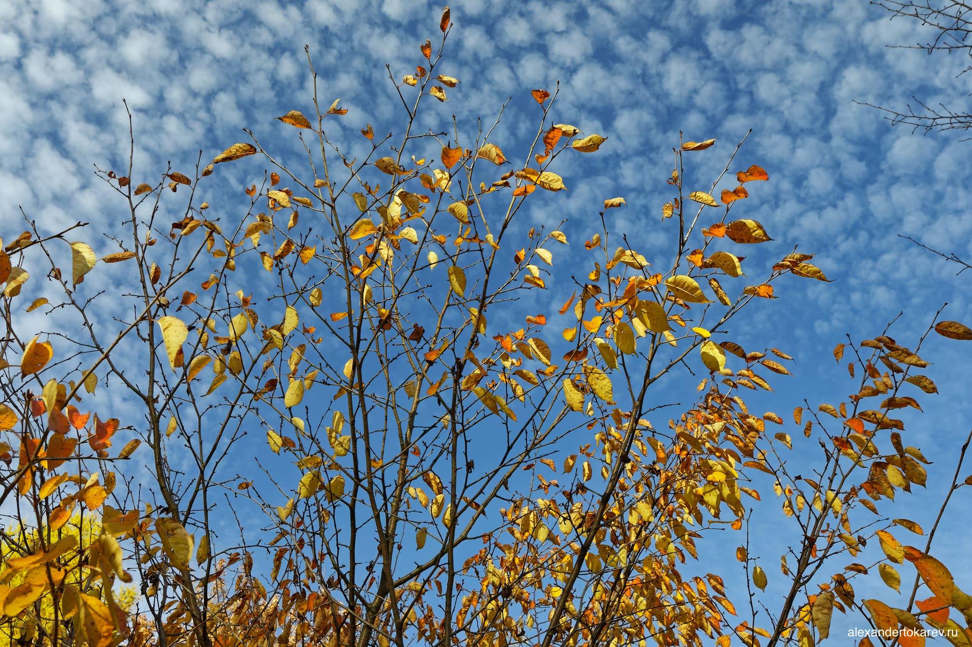 Жёлтые листья сакуры в Бирюлёвском дендропарке