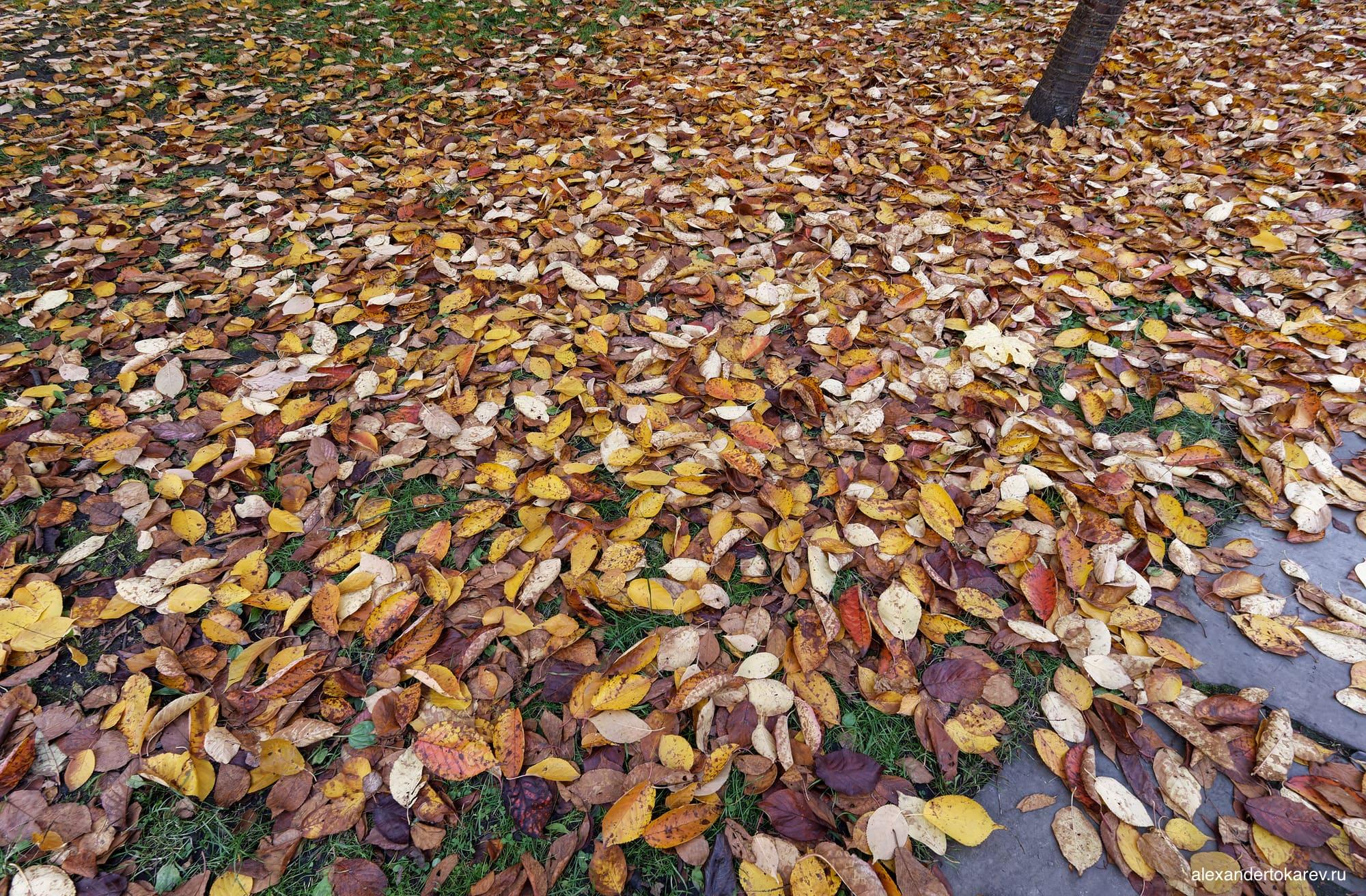 Опавшие листья сакуры в Бирюлёвском дендропарке