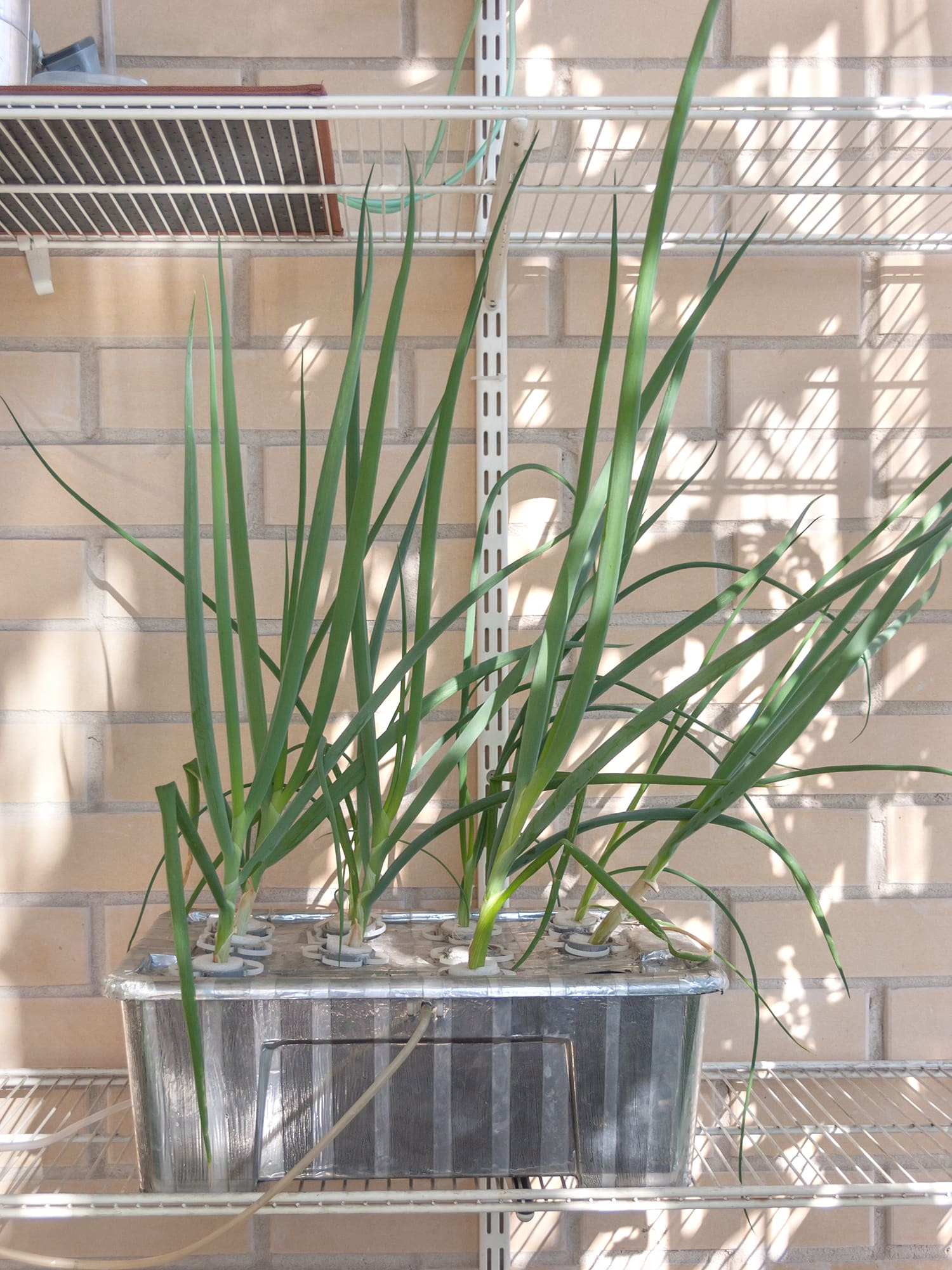 Зелёный лук гидропоника