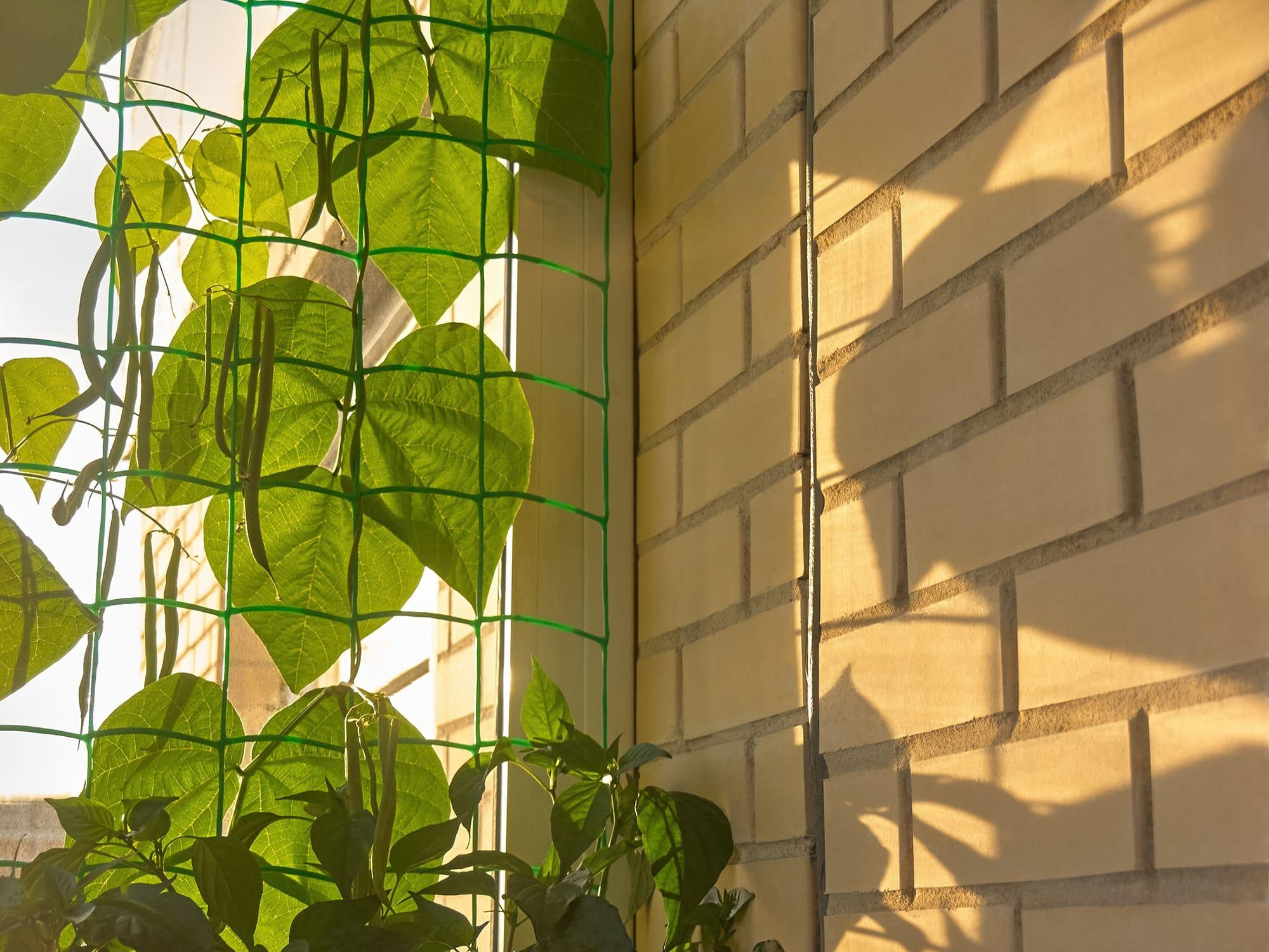 Фасоль на балконе