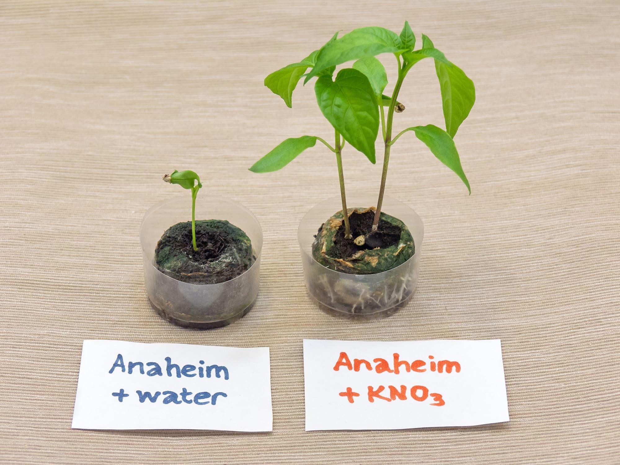 Ускоритель прорастания семян. Тест на перцах Анахайм