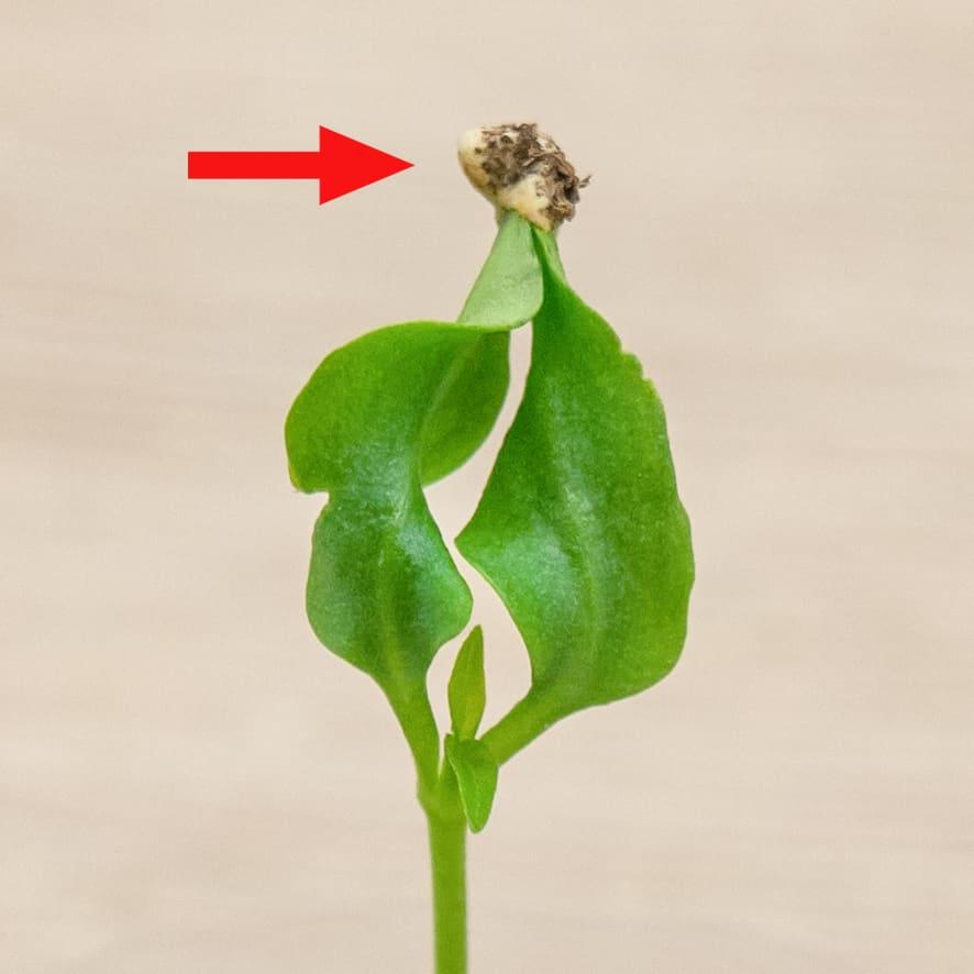 Семядольные листья в капкане семенной оболочки