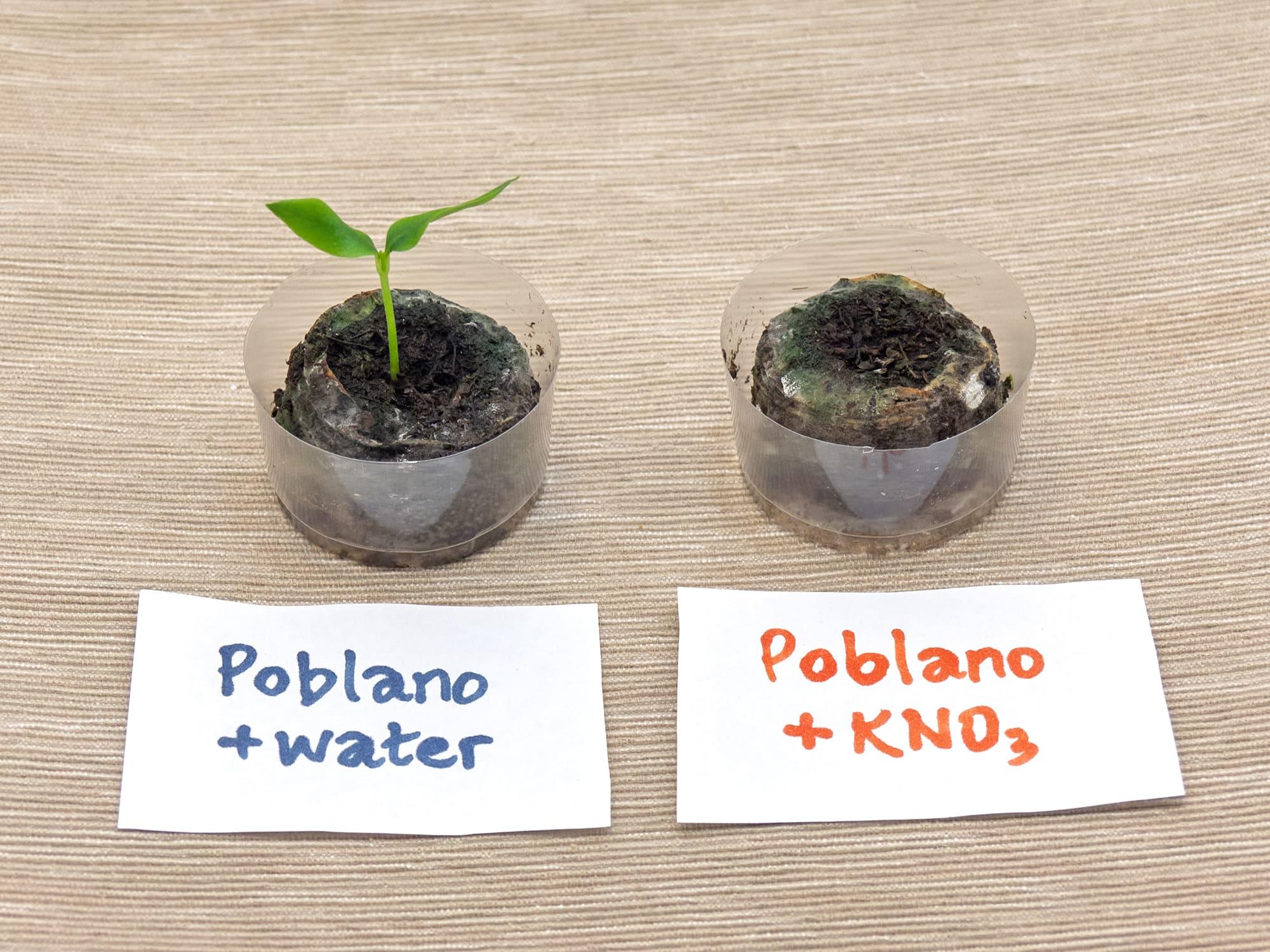 Ускоритель прорастания семян. Тест на перцах Поблано