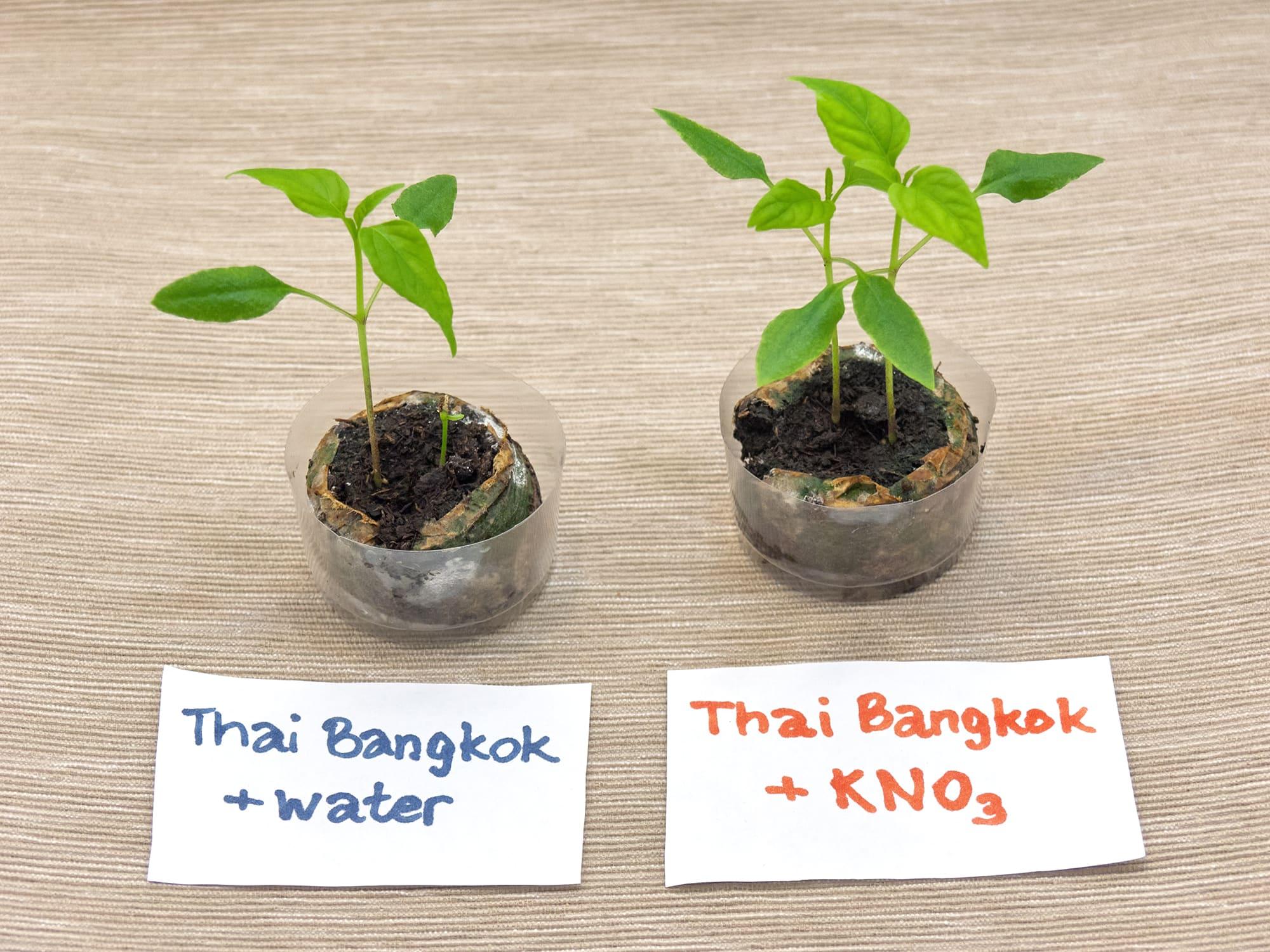 Ускоритель прорастания семян. Тест на перцах Тай Бангкок