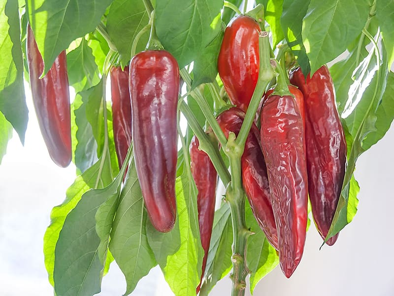 Семена перца Анахайм