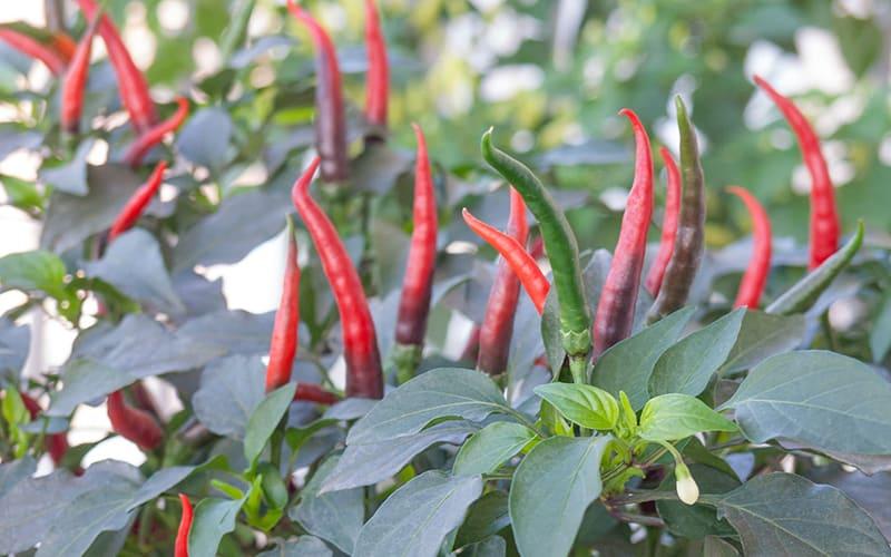Семена перца Тай-бангкок