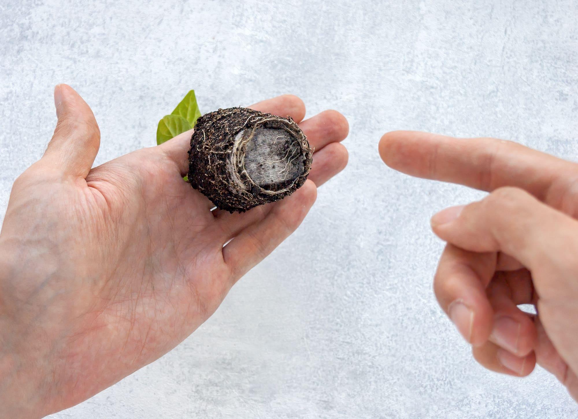 Пересадка рассады из грунта в керамзит