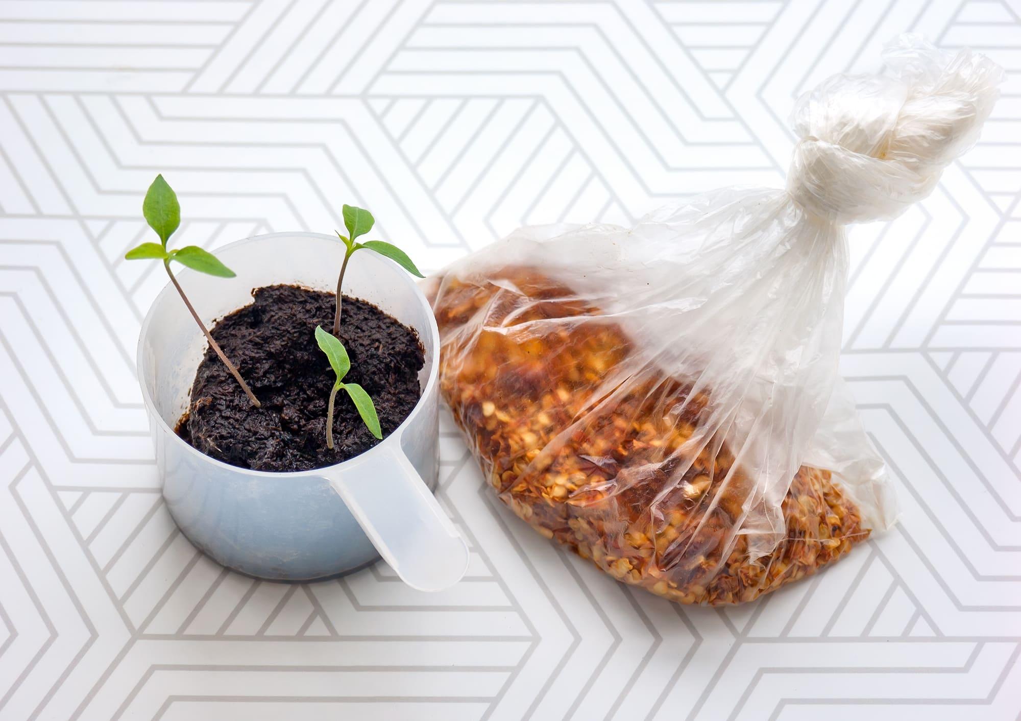 Ростки и семена перца Табаско
