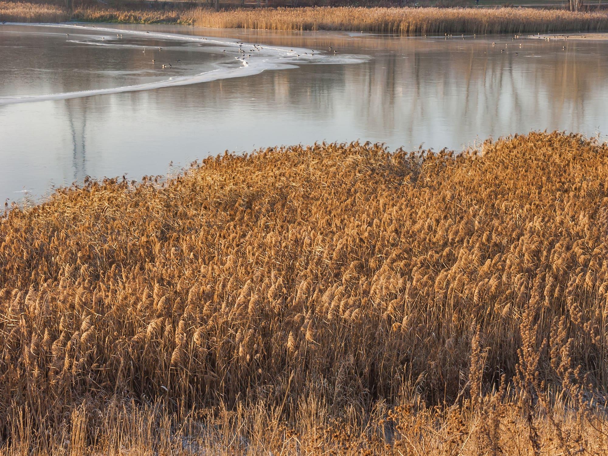 Нижний Царицынский пруд. Заросли тростника